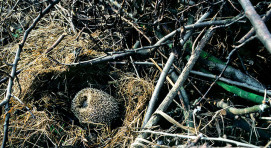 Hedgehog Hibernating
