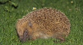The European Hedgehog