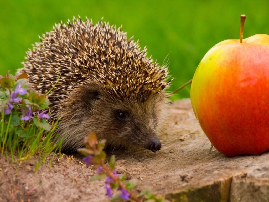 Hedgehog finds an Apple