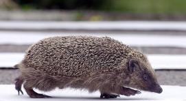A hedgehog crosses a road